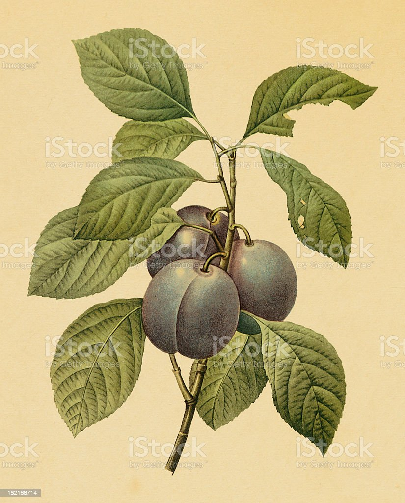 Garden plum   Antique Flower Illustrations vector art illustration