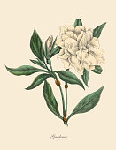 Very Rare, Beautifully Illustrated Antique Engraved Victorian Botanical Illustration of Gardenia Plant: Plate 52, from The Book of Practical Botany in Word and Image (Lehrbuch der praktischen Pflanzenkunde in Wort und Bild), Published in 1886. Copyright has expired on this artwork. Digitally restored.