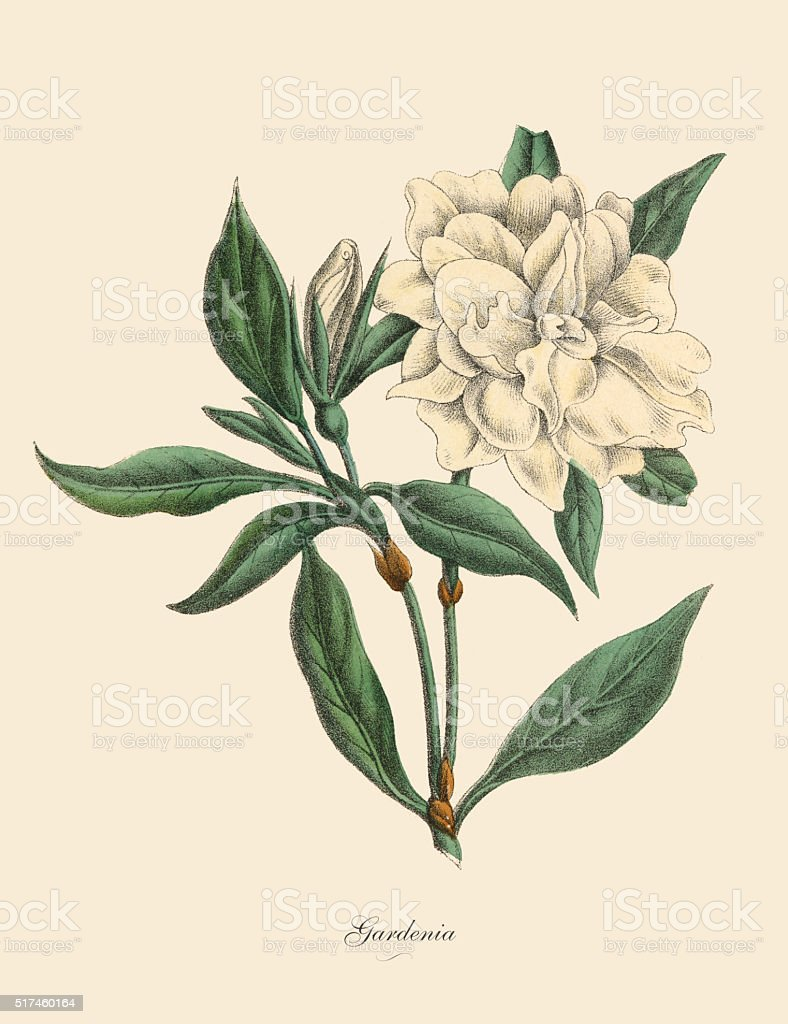 Gardenia Plant, Victorian Botanical Illustration vector art illustration