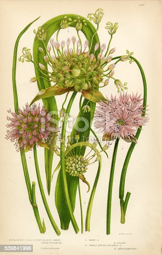Very Rare, Beautifully Illustrated Antique Engraved Garlic, Allium, Chive,Victorian Botanical Illustration, from The Flowering Plants and Ferns of Great Britain, Published in 1846. Copyright has expired on this artwork. Digitally restored.