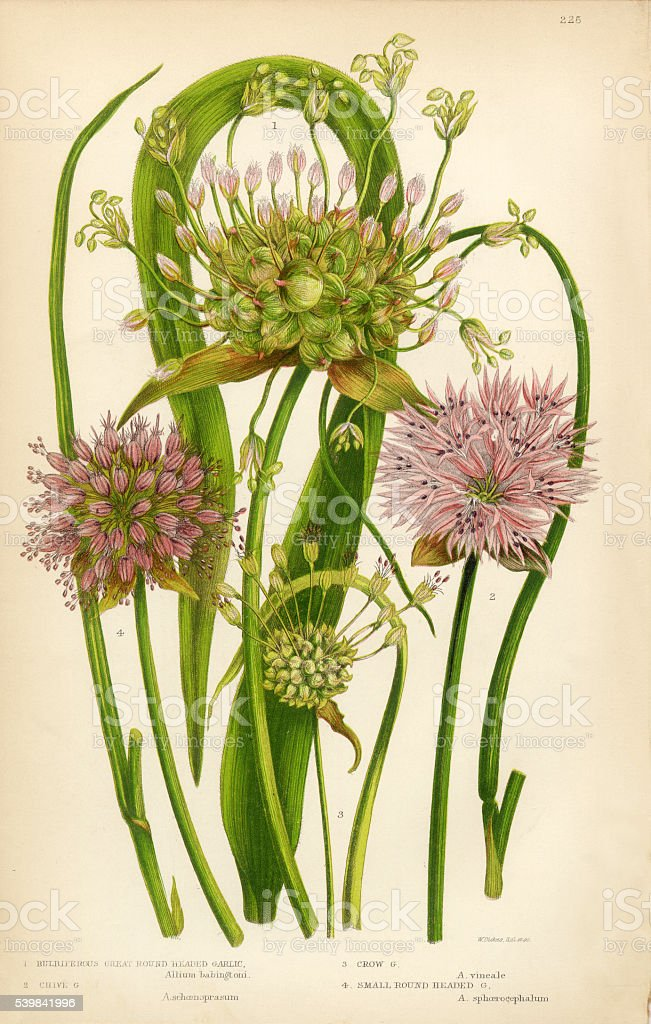 Alho, Allium, cebolinha, ilustração Botânico de Victoria - ilustração de arte em vetor