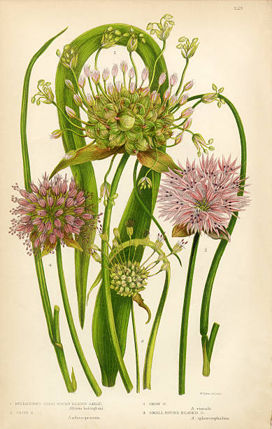 Garlic Allium ChiveVictorian Botanical Illustration Vector Art