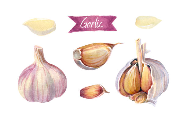 Garlic bulbs and cloves isolated on white watercolor illustration Watercolor illustration garlic bulbs and cloves peeled and whole isolated on white background with clipping path included garlic stock illustrations