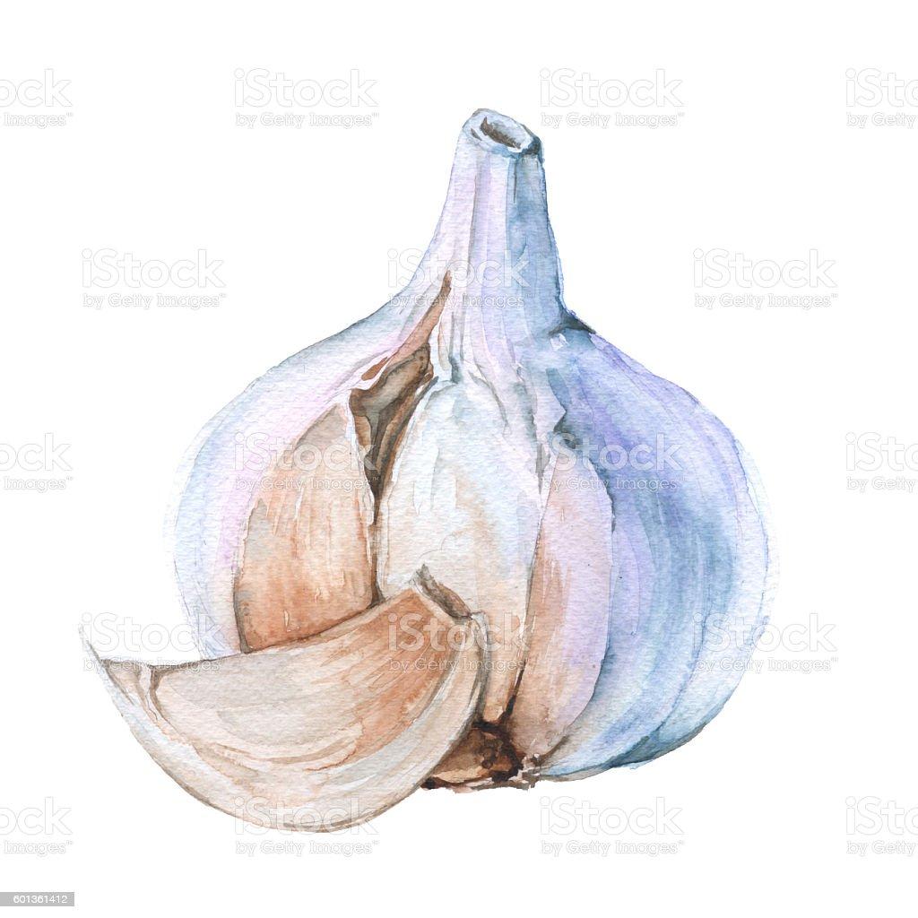 Garlic clove.isolated on a white background. watercolor illustration. - ilustração de arte em vetor