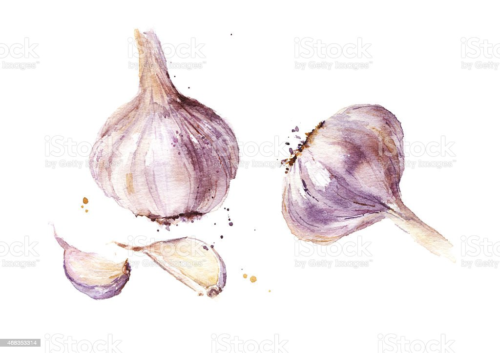 Garlic watercolor illustration royalty-free garlic watercolor illustration stock vector art & more images of 2015