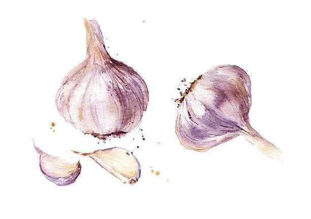 Garlic watercolor illustration A garlic isolated on white background, watercolor illustration garlic stock illustrations