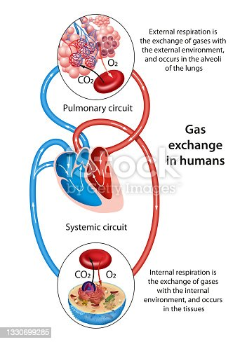 istock Gas exchange occurs at two sites in the body: in the lungs and at the tissues 1330699285