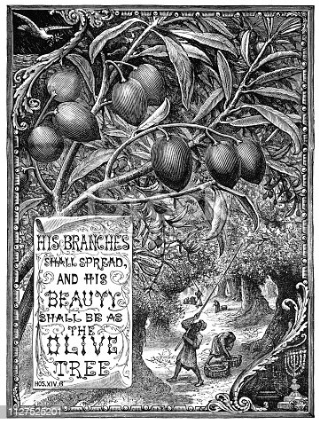 "A quotation from the Book of Hosea in the Old Testament of the Bible, ""His branches shall spread and his beauty shall be as the olive tree"" with an illustration of men harvesting olives. From ""The Juvenile Instructor: Vol XLII-Vol XII New Series"" published by JC Watts in London, 1891."