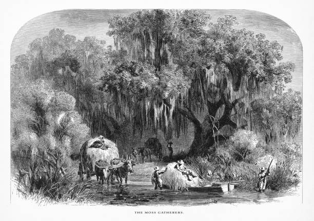 gathering spanish moss in a swamp on the mississippi, louisiana, united states, american victorian engraving, 1872 - moss stock illustrations