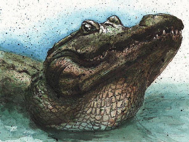 Gator growl An alligator lifting its head out of the water and bellowing. It sounds like a deep growl. RETROROCKET stock illustrations