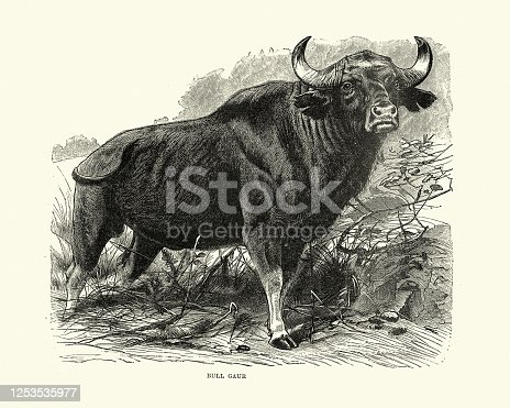 Vintage illustration of a gaur (Bos gaurus), also called the Indian bison, is native to South and Southeast Asia
