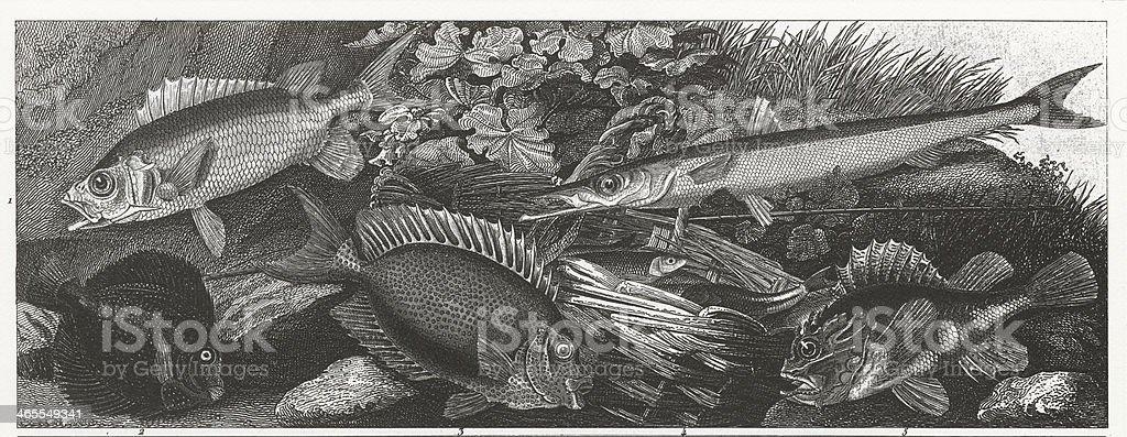 Gem Fish, Perch Barracuda Engraving vector art illustration