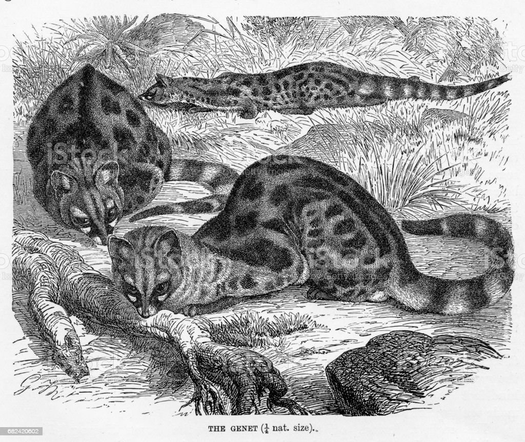 Genet engraving 1894 royalty-free genet engraving 1894 stock vector art & more images of animal