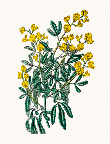 Genista tropical flower