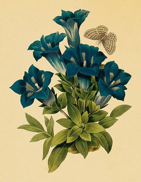 stockillustraties, clipart, cartoons en iconen met gentiana | antique flower illustrations - gentiaan