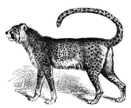 Gepard | Antique Animal Illustrations