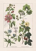 Geraniaceae, Malvaceae: 1) Meadow crane's-bill (Geranium pratense), a-flowering stem tip, b-ovary; 2) Tall mallow (Malva sylvestris, or Malva vulgaris); 3) Greater musk-mallow (Malva alcea), a-flowering stem tip, b-leaf, c+d-fruit; 4) Levant cotton (Gossypium herbaceum). Chromolithograph, published in 1895.