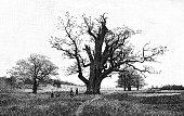 Germany's Strange Trees: destroyed Oak