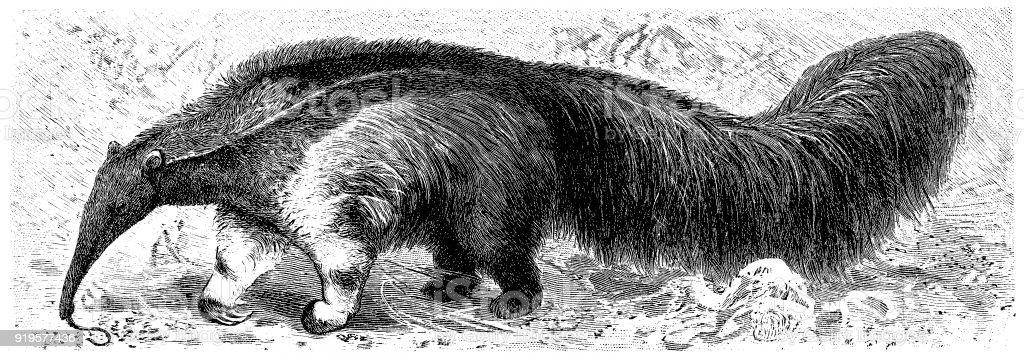 Giant Anteater (Myrmecophaga Tridactyla) vector art illustration