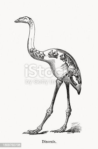 istock Giant moa (Dinornis, extinct), wood engraving, published in 1893 1309760708