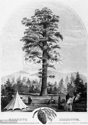 Very Rare, Beautifully Illustrated Victorian Antique Engraving of Giant Redwood Tree, Mammoth Arbor Vitae, Circa 1853 Victorian Engraving, Published in 1894. Copyright has expired on this artwork. Digitally restored.