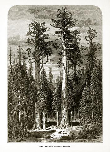 Giant Redwoods in Mariposa Grove, Yosemite Valley, Yosemite National Park, Sierra Nevada, California, American Victorian Engraving, 1872