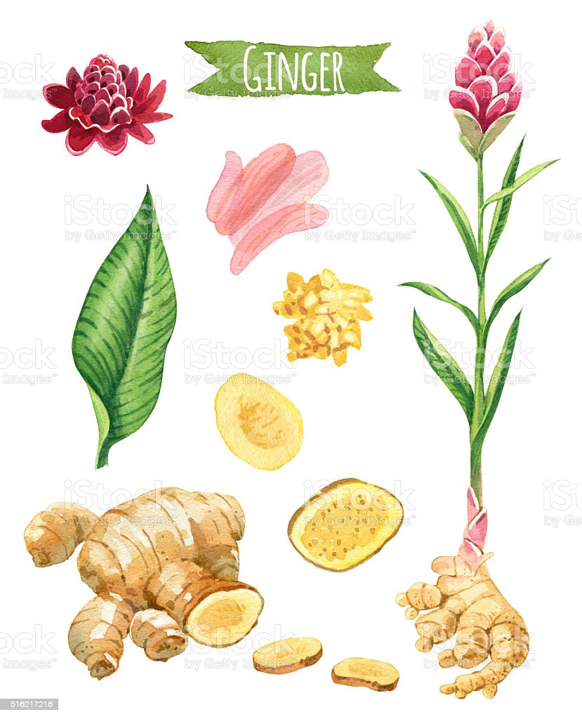 Ginger, hand-painted watercolor set royalty-free ginger handpainted watercolor set stock vector art & more images of alternative medicine