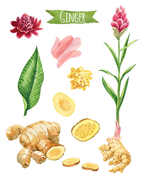 Ginger, hand-painted watercolor set vector art illustration
