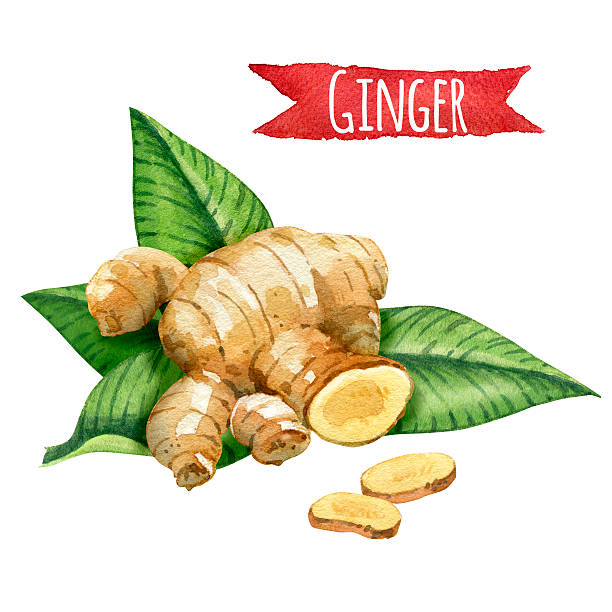 Ginger root with green leaves vector art illustration