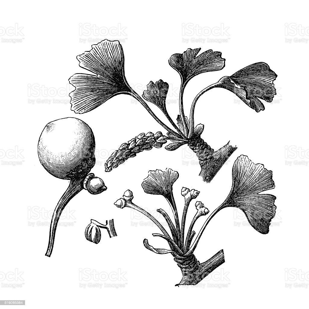 Ginkgo biloba vector art illustration