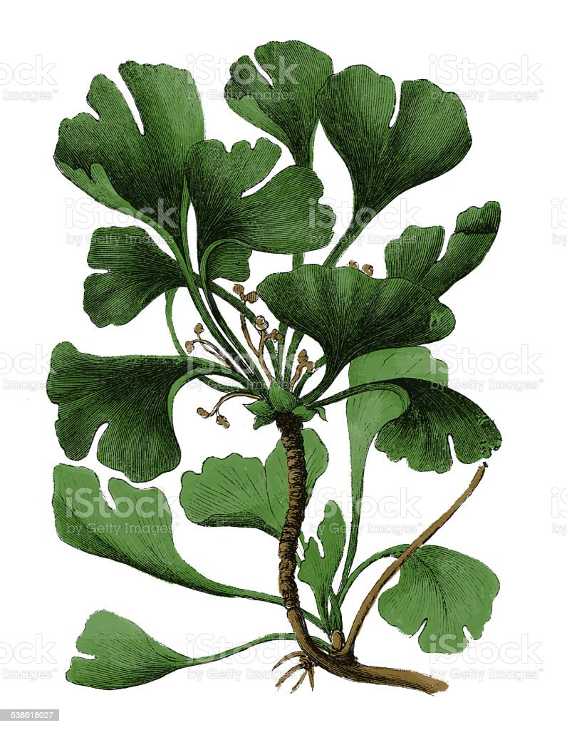 Ginkgo Biloba (antique botanical engraving) vector art illustration