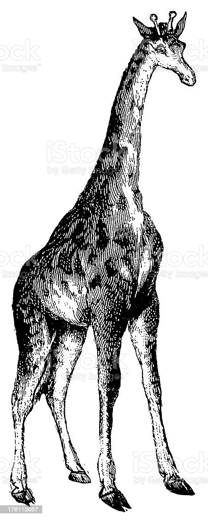 Giraffe | Antique Animal Illustrations royalty-free giraffe antique animal illustrations stock vector art & more images of 19th century