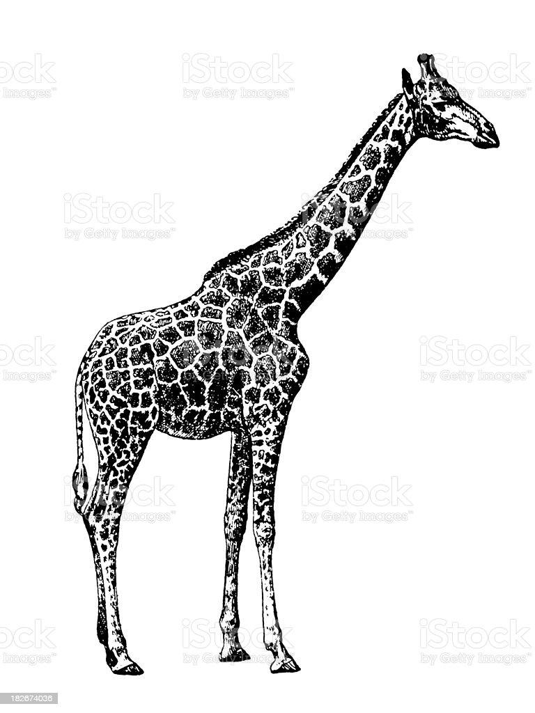 giraffe clip art vector images u0026 illustrations istock