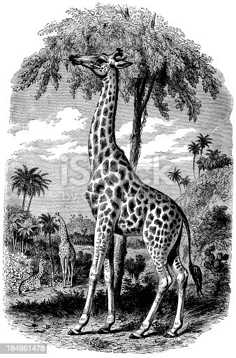 Engraving From 1867 Of Giraffes In The Wilderness.