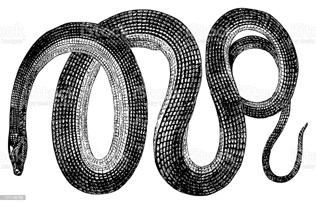 Glass snake | Antique Animal Illustrations vector art illustration
