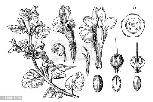 Illustration of a Glechoma hederacea (ground-ivy, gill-over-the-ground, creeping charlie, alehoof, tunhoof, catsfoot, field balm, run-away-robin)