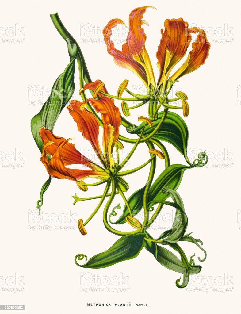 Glory lily flower 19th century illustration stock vector art more glory lily flower 19th century illustration royalty free glory lily flower 19th century illustration stock izmirmasajfo