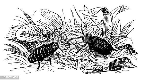Illustration of a Glowworm (Lampyris noctiluca, male, female)