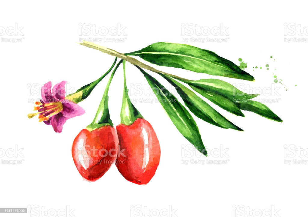 Goji Berries Or Lycium Barbarum With Leaves And Flower On The