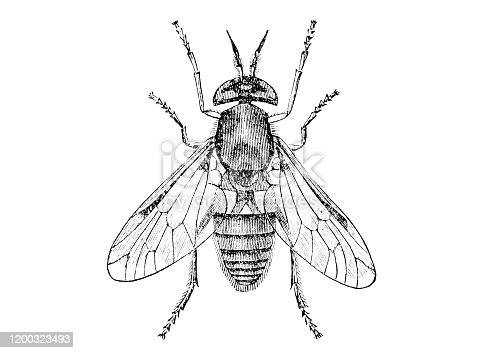 Gold eyed gadfly, insect from the out-of-copyright book