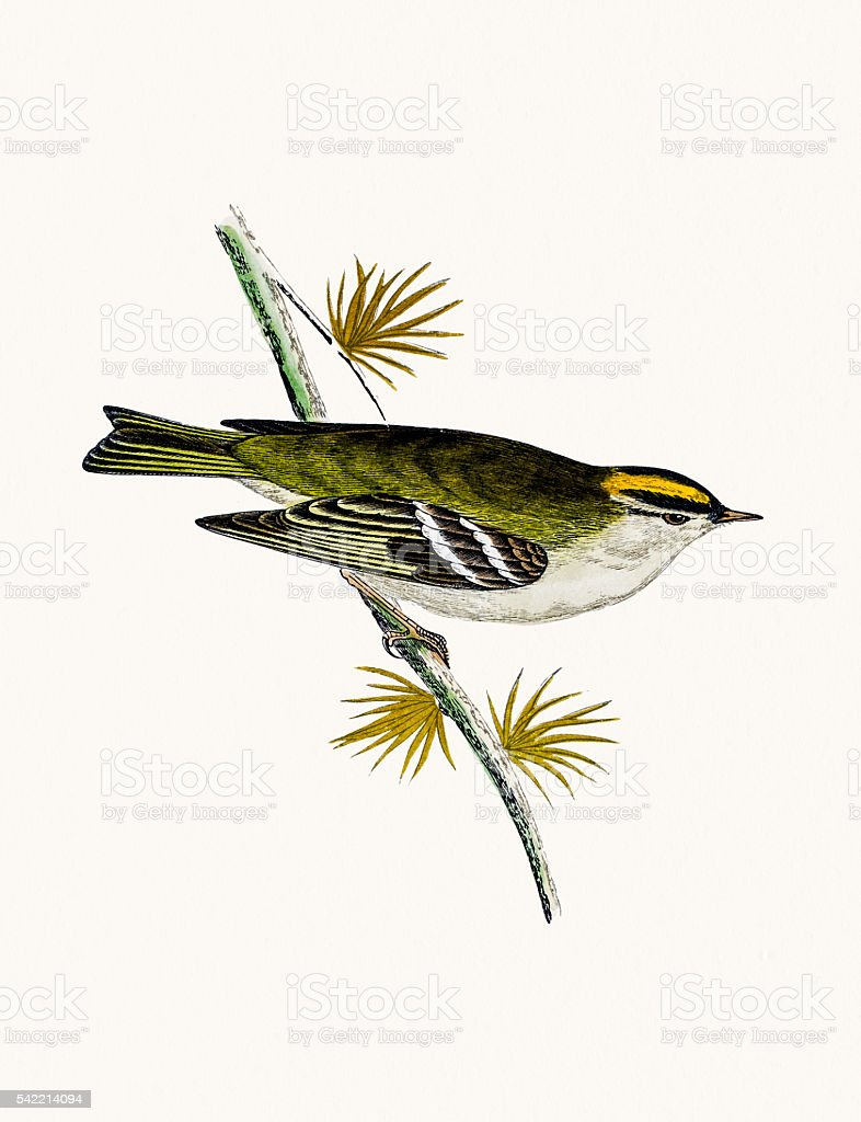 Goldcrest bird vector art illustration