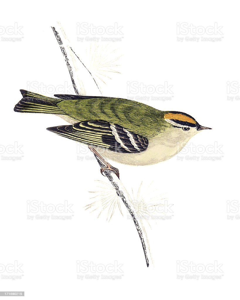 Goldcrest - Hand Coloured Engraving royalty-free stock vector art