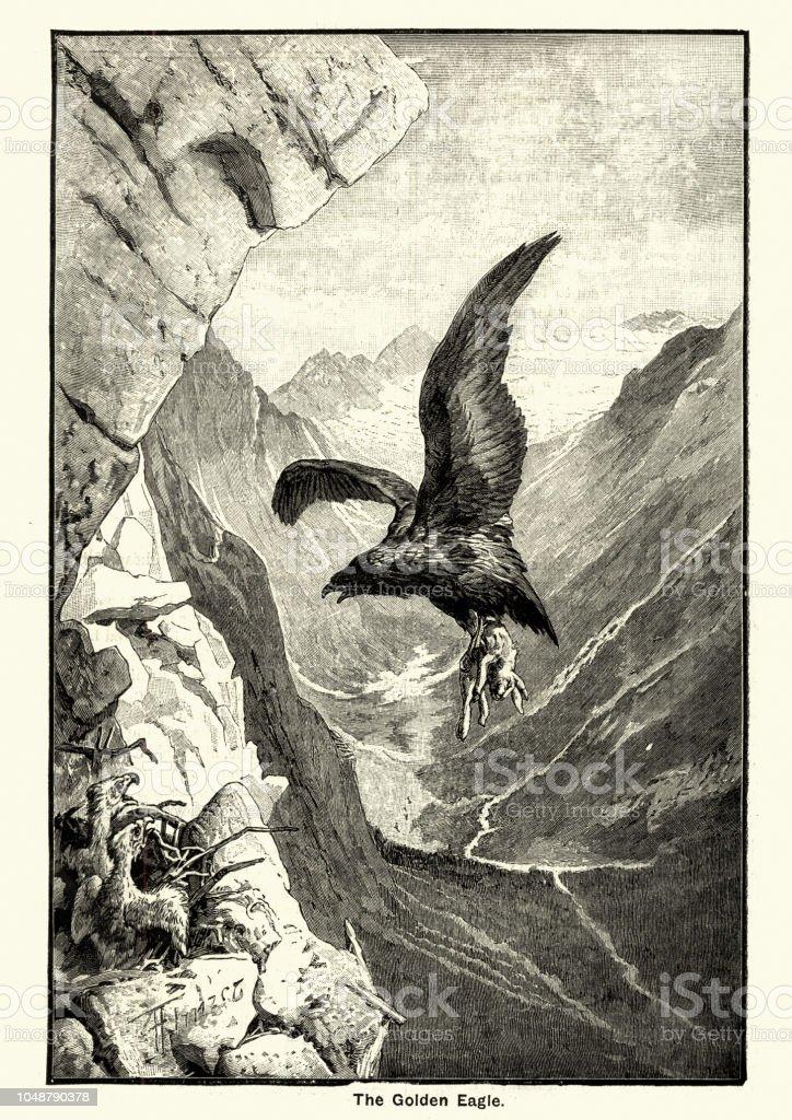 子羊を運び去るゴールデン イーグル - 1890~1899年のベクターアート ...