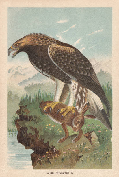 stockillustraties, clipart, cartoons en iconen met golden eagle (aquila chrysaetos), chromolithograph, gepubliceerd in 1896 - roofdieren