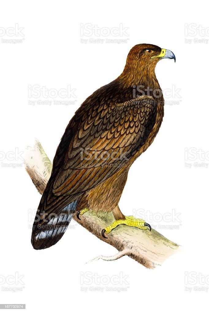 Águila real mano de color, grabado - ilustración de arte vectorial