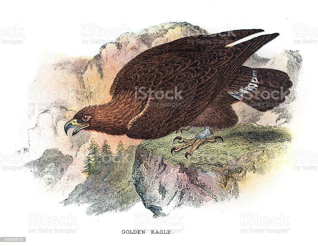 Golden eagle illustration 1896 - ilustración de arte vectorial