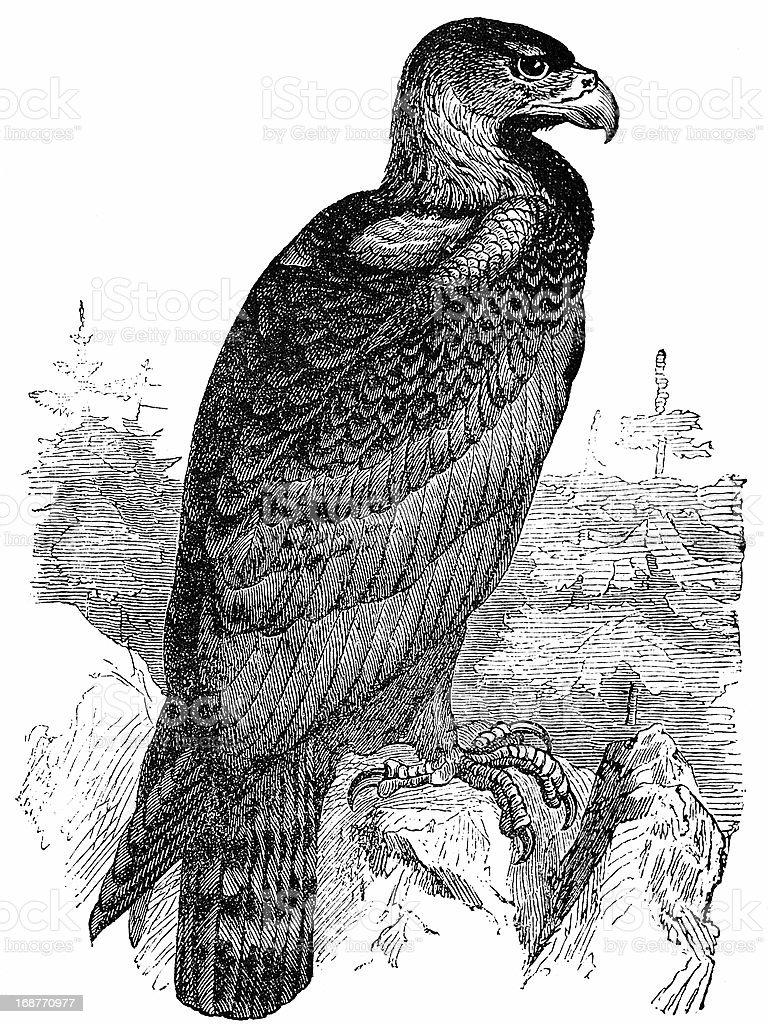 Águila real (Aquila Chrysaetos - ilustración de arte vectorial