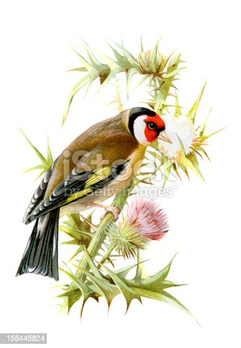 istock Goldfinch Chromolithograph 155445824