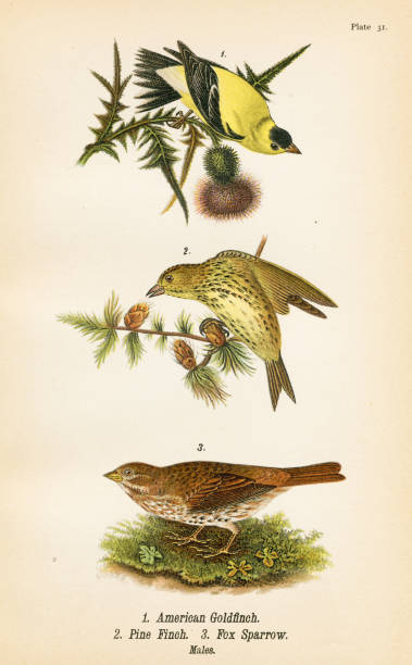 Goldfinch Pine Finch bird lithograph 1890 Report on the Birds of Pennsylvania by B.H.Warren M.D.  1890 american goldfinch stock illustrations