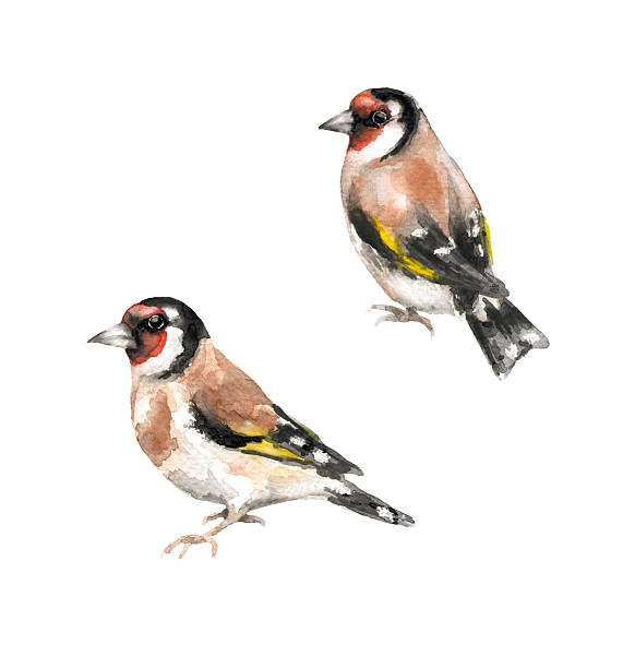 Goldfinches watercolor sketch Hand drawn birds. Watercolor sketch of goldfinches  isolated on white finch stock illustrations